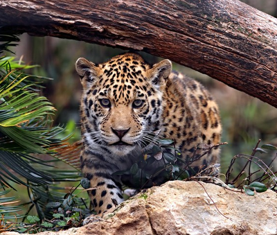Heredia - Jaguar Rain Forest